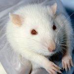 Tierversuche : Wistar-Laborratte